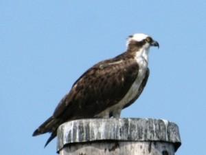 osprey - fish hawk